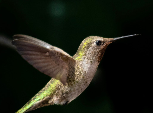 Fat Hummingbirds