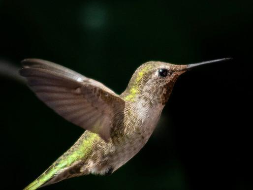 Fat Hummingbirds