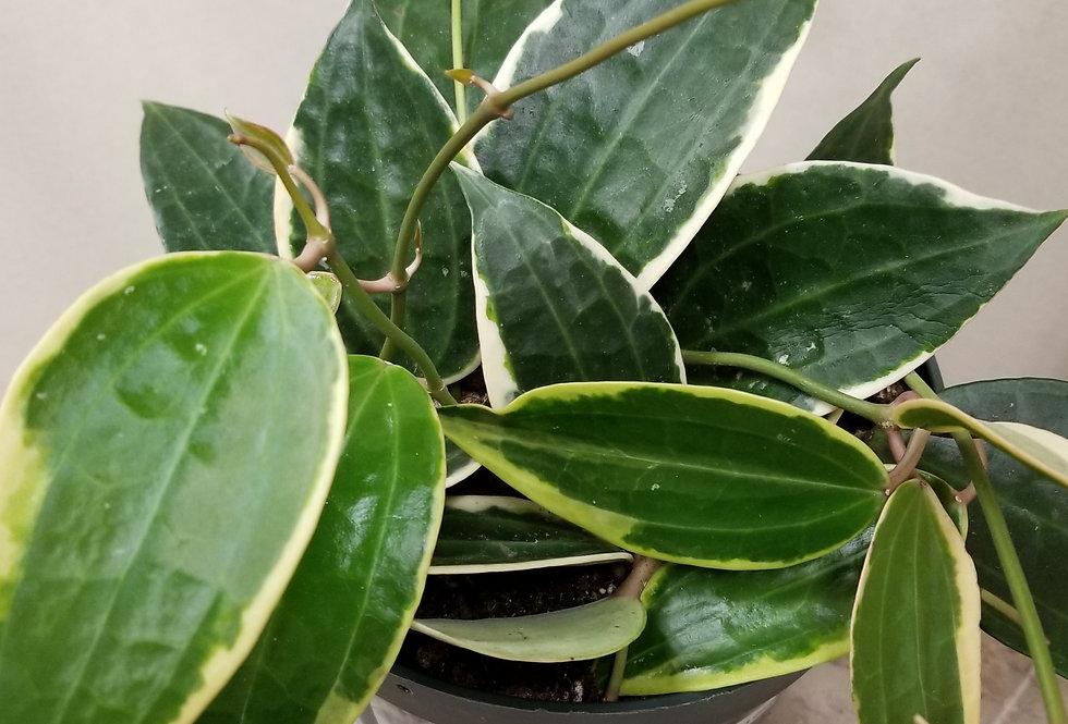 """8"""" Hoya Macrophylla Variegated"""