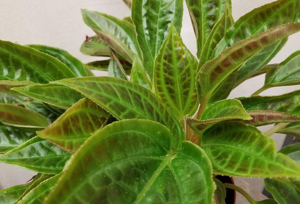 """6"""" Monolena Primuliflora"""