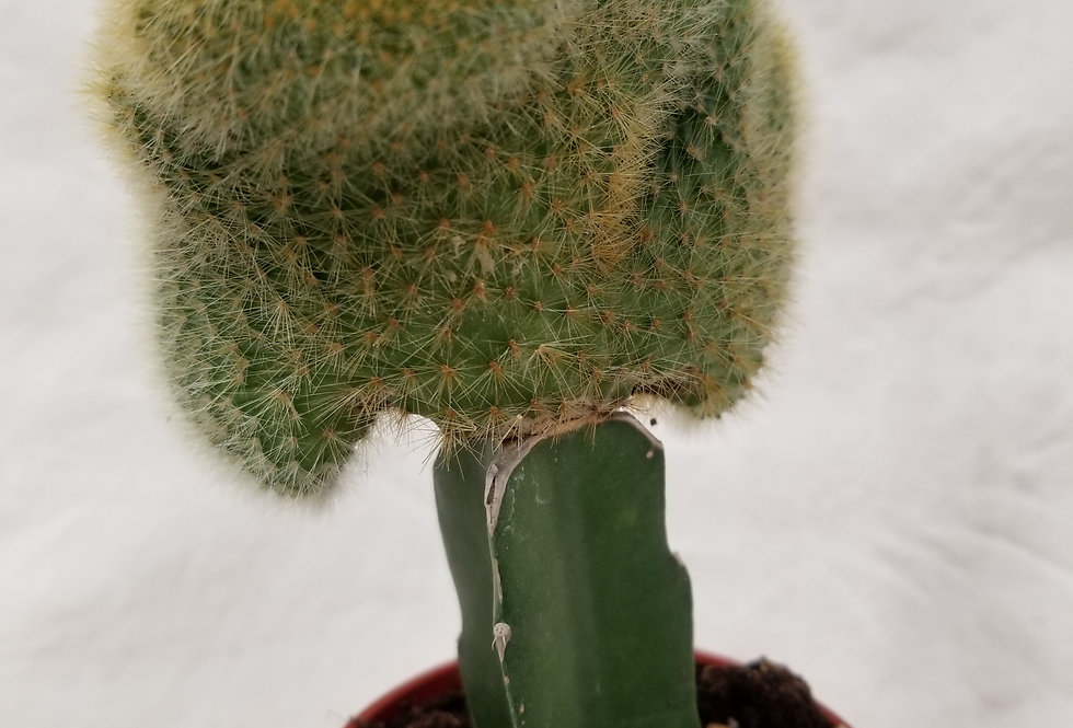 "3"" Grafted Cactus"