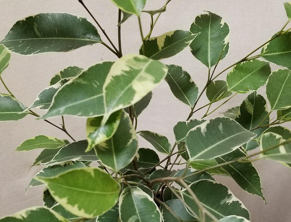 """6"""" Ficus Variegated"""