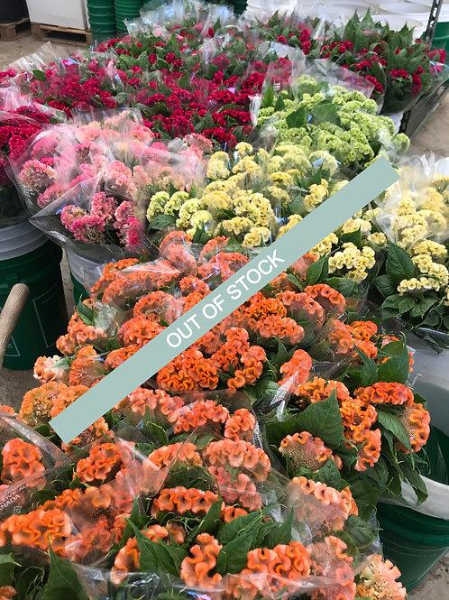 Celosia - Solid Colour Full Pail