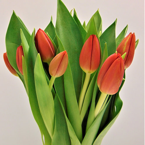 1/2 Pail Solid Tulips