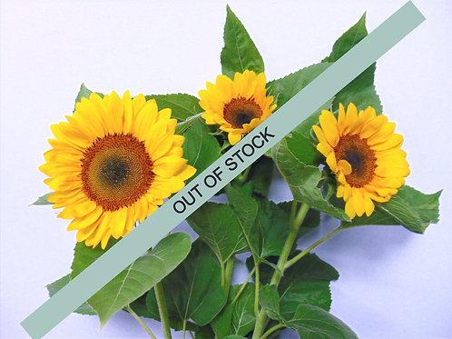 Sunflower - Full Pail