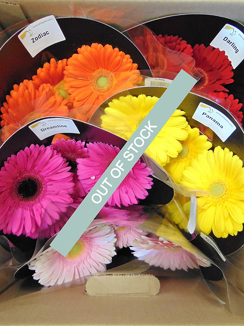 Assorted Gerbera's Carded (Full Pail)