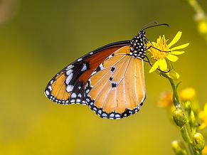 plain-tiger-butterfly-drinking-nectar-PP