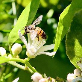 Bee Lime Tree