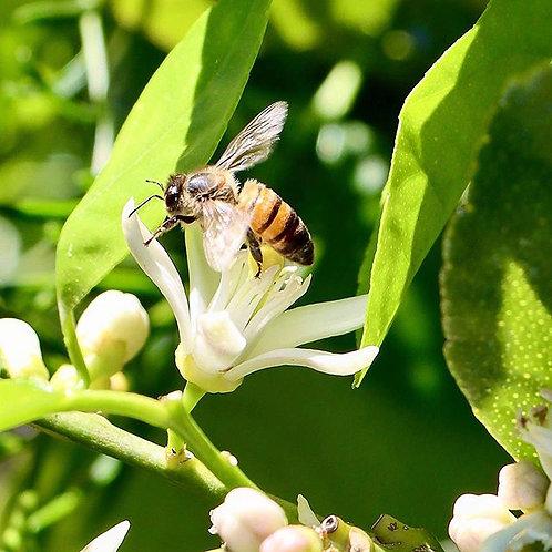 Bee Lime Bloom