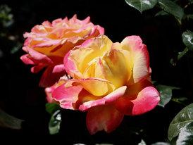Lustre Rose