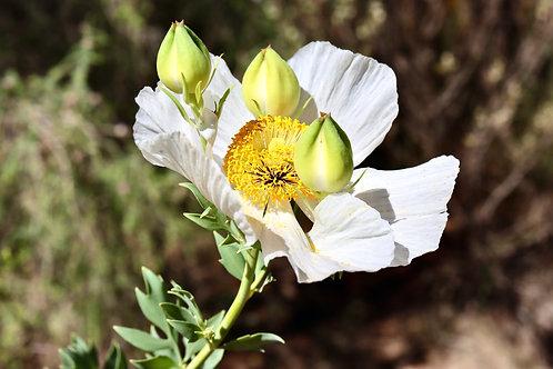 White  Bear Poppy