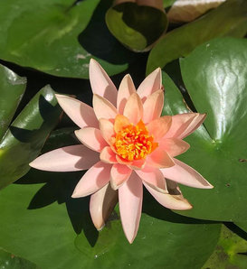 Water Lily Love