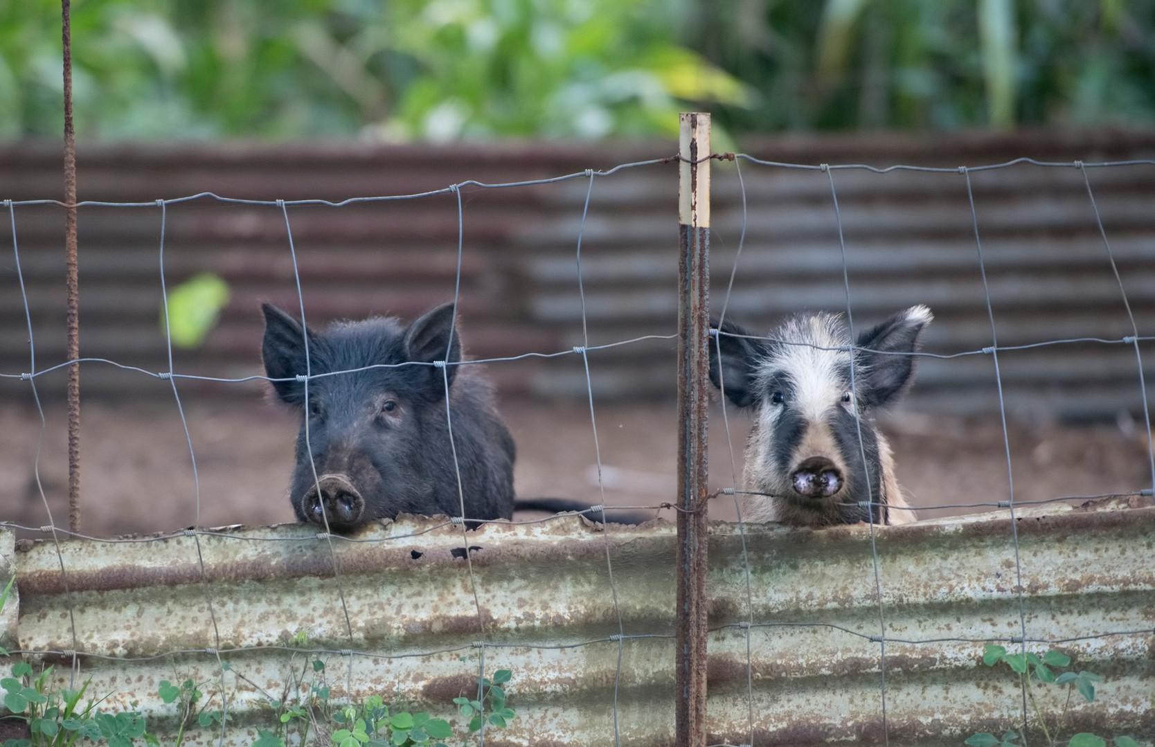 2 Pigs Behind Gate