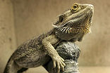 bearded-dragon-108219154-resized-56a2bd0