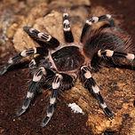 Brazilian-White-Knee-Tarantula.jpg
