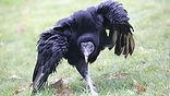Vulture-Walk-Jaffar.jpg