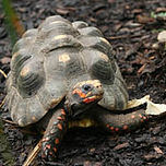 thumbred-footed-tortoise1702_356.jpg