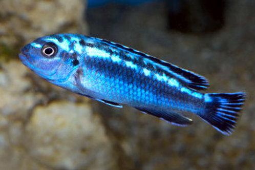 Melanochromis Johanii