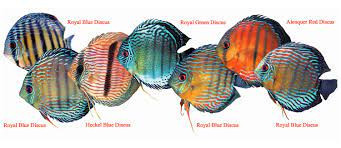 History of Discus