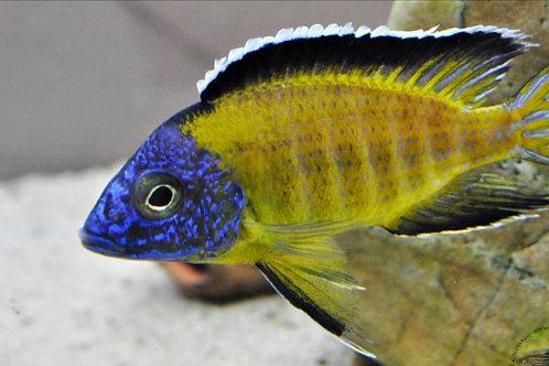 Aulonocara Blue Neon Usisya