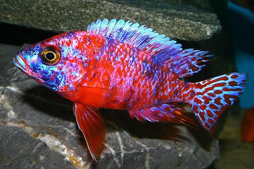 Aulonocara OB Pink Peacock
