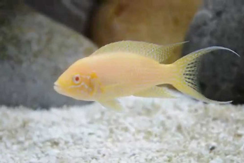 "Neolamprologus Bridhardi ""Albino"""