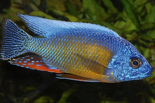 """Protomelas Sp. """"Fenestratus Taiwan"""""""
