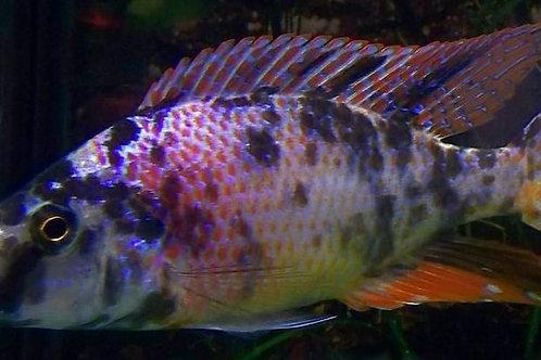 "Dimidiochromis SP ""OB"" Compressiceps"