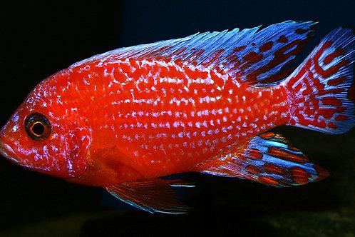Aulonocara SP. Strawberry