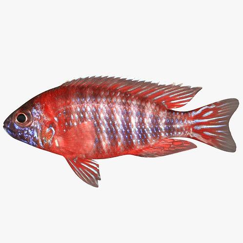 Red Aulonocara Beanschi
