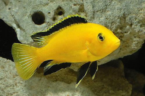 Labidochromis Caeruleus