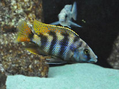 Placidochromis Milomo VC 10