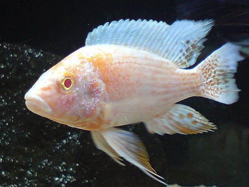 Aulonocara SP. Albino