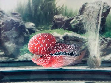 History of the Flowerhorn Fish