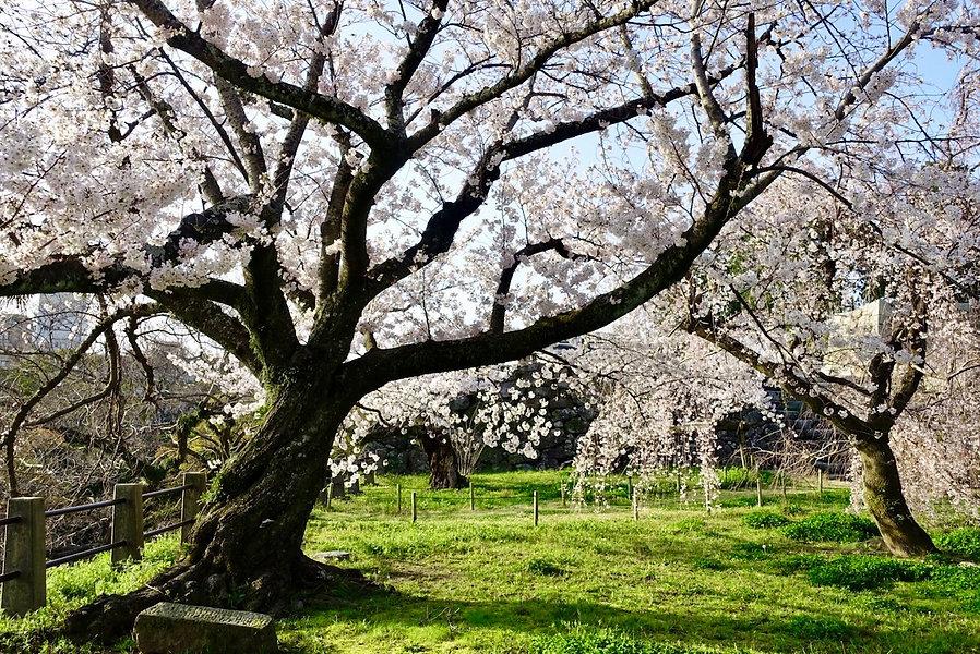 fukuoka castle and cherry flower4.jpg