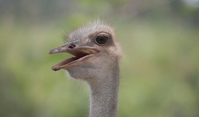 Long necked-ostrich in Seremban Malaysia
