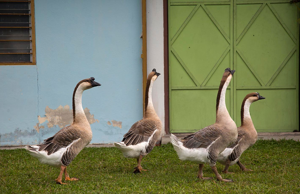 seremban;serembanonline;nicaliss;nic falconer;nic falconer photographer; seremban photography;aikido;joe thambu; dojo;geese