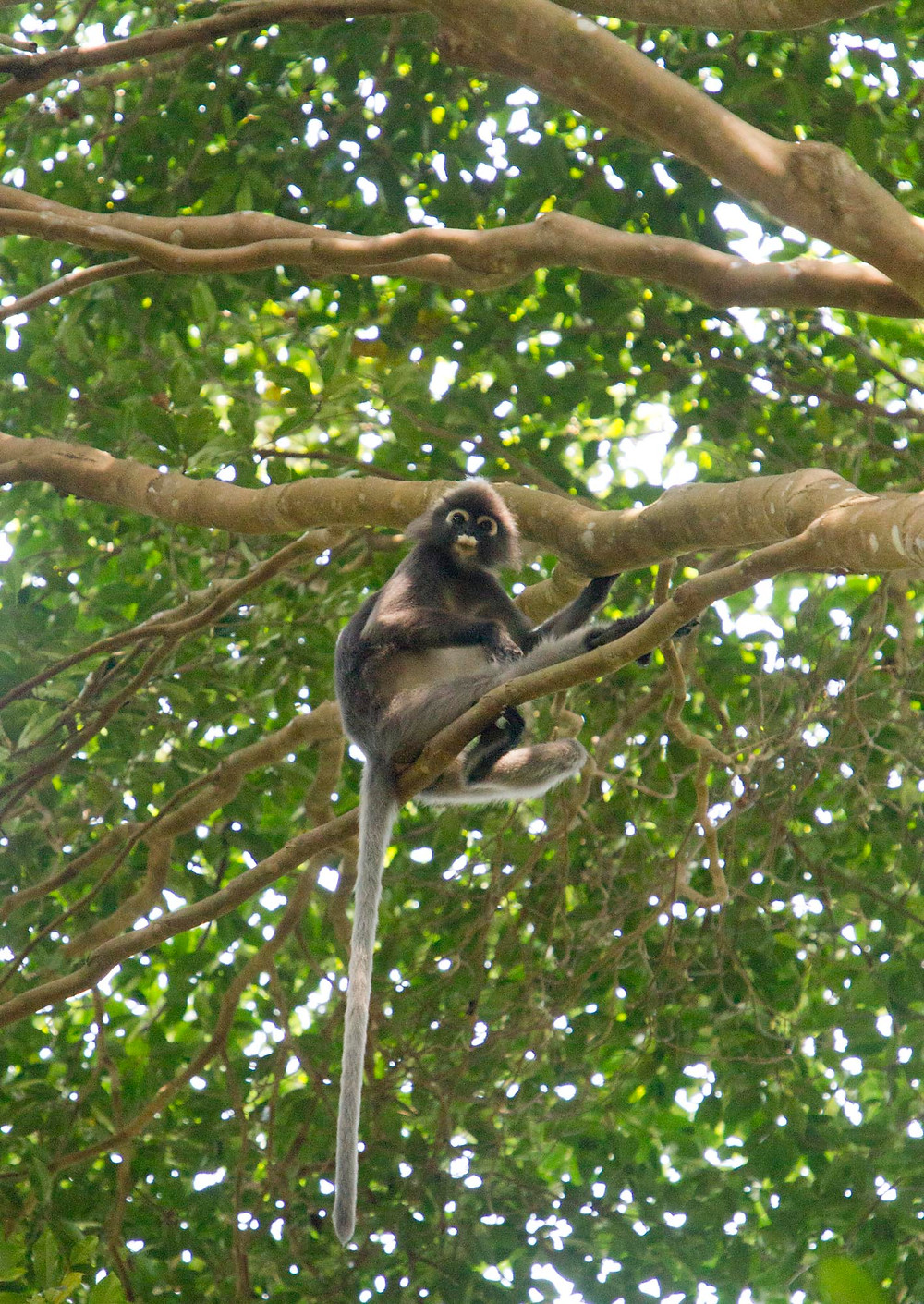 serembanonline photograph of Dusky Langur in Tanjung Tuan  by Nic Falconer nicaliss