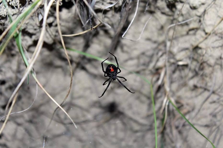Widow 1.jpg