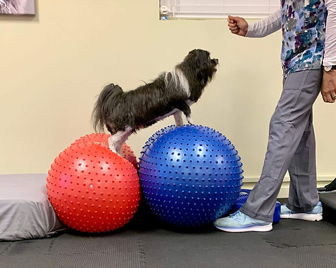 Whidbey Canine Conditioning and Rehabilitation Small Dog Exercise Balls