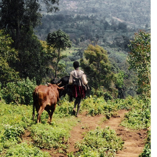Ethiopian Education Fund Boy and Cow