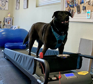 Whidbey Canine Conditioning & Rehabilitation Briar Rose Dog Treadmill