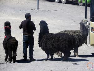 alpaca queuing for the bus