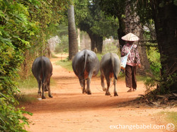 walking_bufalo_path_village_cambodia