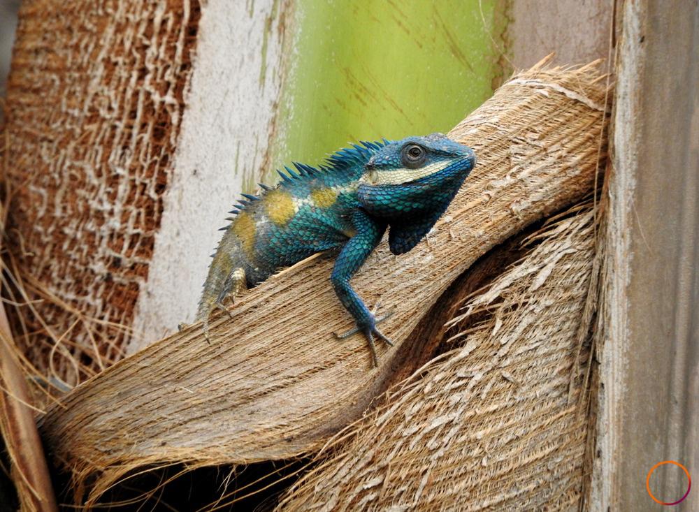 inle lake_braveheart lizard