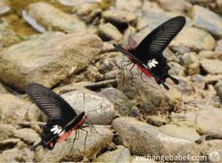 KhaoSok_Thailand_butterfly