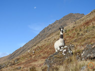 alpaca and moon