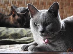 inle heritage_burmese cat