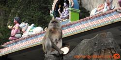 monkey_batu_caves_kuala_lumpur_malaysia