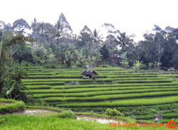 rice_terrace1